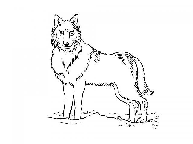 Coloriage a imprimer loup gratuit et colorier - Image loup dessin ...