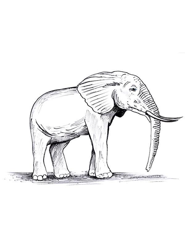 Coloriage a imprimer elephant gratuit et colorier - Elephant en dessin ...