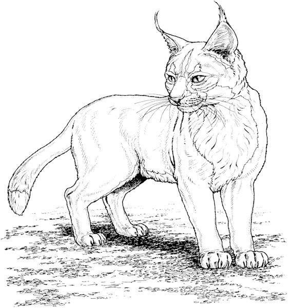 Coloriage A Imprimer Joli Lynx Gratuit Et Colorier