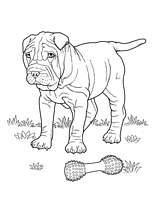 Coloriage chien shar pei - Dessin chien boxer ...