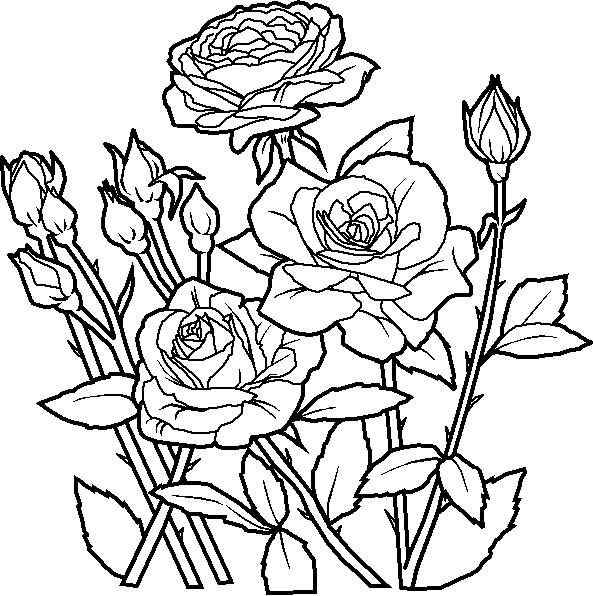 Dessin de rosier - Dessin de rosier ...